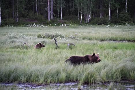 Ruka-Kuusamon seudulla voi tarkkailla karhuja niiden omassa elinympäristössään. Pieni Kuntilampi houkuttelee niitä uimaan.