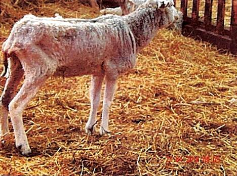 Monet lampaat olivat hyvin laihoja.