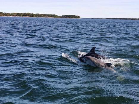 Delfiinit uivat noin viiden metrin päässä veneestä.