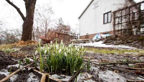 Nupuille ehtinyt lumikello on lupaus keväästä.