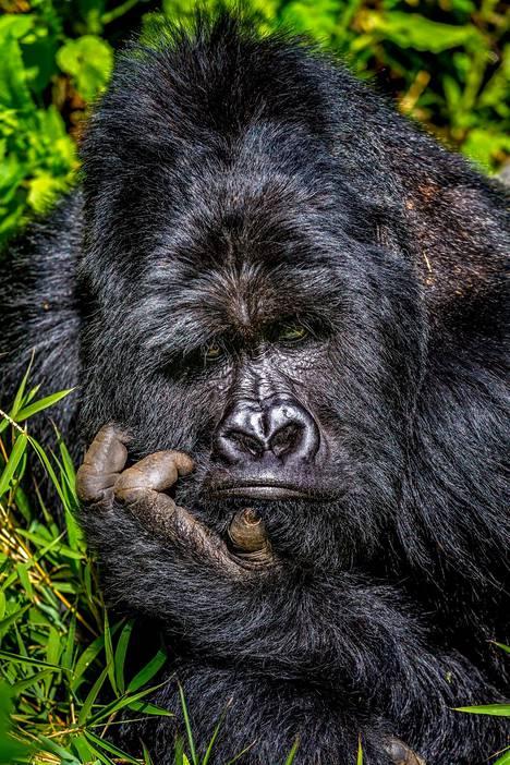 Mietteliäs gorilla kuvattiin Ugandassa.