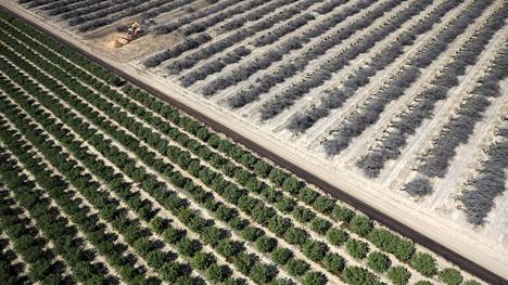 Kuolleita mantelipuita Kaliforniassa Yhdysvalloissa, jossa on kärsitty poikkeuksellisesta kuivuudesta ja vesipulasta jo neljänä peräkkäisenä vuonna.