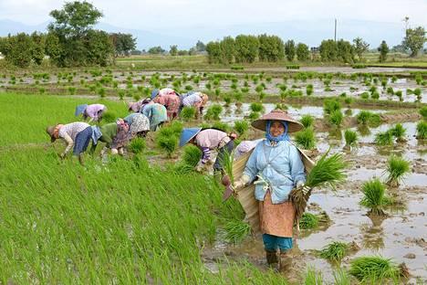 Myanmarilaisilla on hymy ja nauru herkässä. Kengtungin ympäristössä viljellään riisiä.