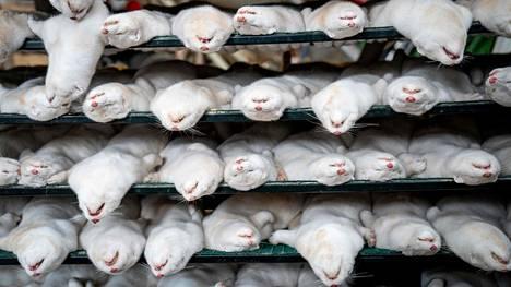 Minkkitarha Naestvedissa joutui lopettamaan 3000 eläintä 6. marraskuuta, kun hallitus päätti ryhtyä torjumaan kovin keinoin koronaviruksen leviämistä.