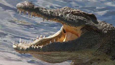 Kuvituskuva krokotiilista.