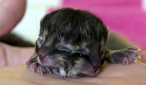 Kaksinaamaisella kissanpennulla on kaksi suuta, kaksi nenää ja neljä silmää.