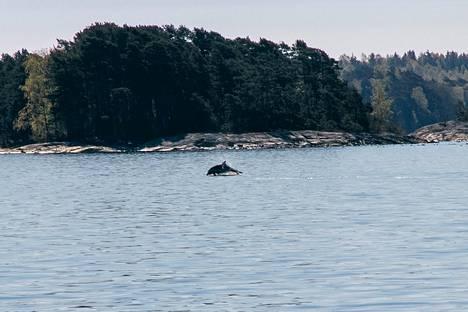 Yksi delfiineistä on Vehviläisen mukaan tummempi kuin kaksi muuta. Hän arvioi delfiinin olevan noin 3 metriä pitkä.