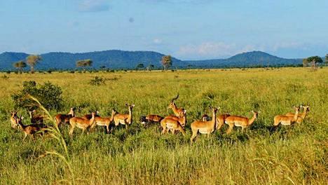 Mikumin kansallispuistossa antiloopit ovat lähietäisyydellä.