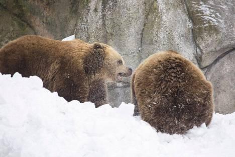 """Karhu ei ole uhanalainen, mutta joutui listalle, koska se lukeutuu """"silmälläpidettäviin"""" lajeihin."""