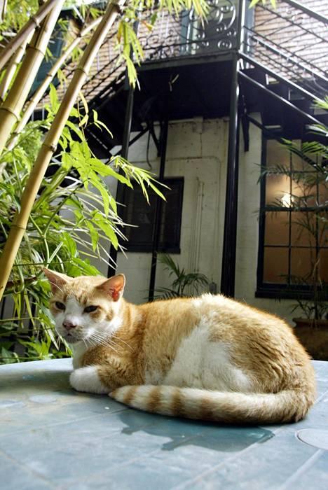 Kissa Hemingwayn kotimuseon pihassa Key Westissä Floridassa.