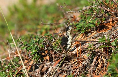 –Harvinaista,että vielä näkyy käärmeitä, pohtii rantakäärmeen tänään Hangossa kuvannut Jorma Rönkkö.