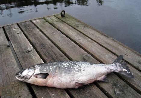 Noin 20 eläinlajia luokiteltiin synkimpään luokkaan, äärimmäisen uhanalaiseksi. Näihin lukeutui myös järvilohi. Kaloja luokiteltiin yhteensä 75, joista 16 prosenttia oli uhanalaisia.