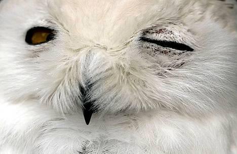 Tunturipöllö iskee silmää.