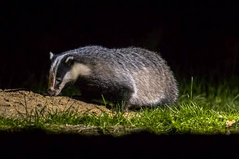 Mäyrä puuhastelee pääasiassa yöaikaan, ja siksi niitä ei kovin usein näe luonnossa.