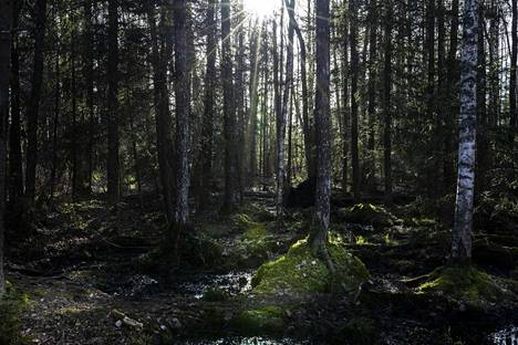 Metsämaisema Alam-Pedjan suojelualueella.