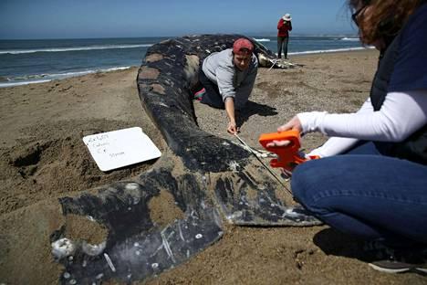 Tutkijat mittailivat Kaliforniassa rannalle ajautunutta kuollutta harmaavalasta.