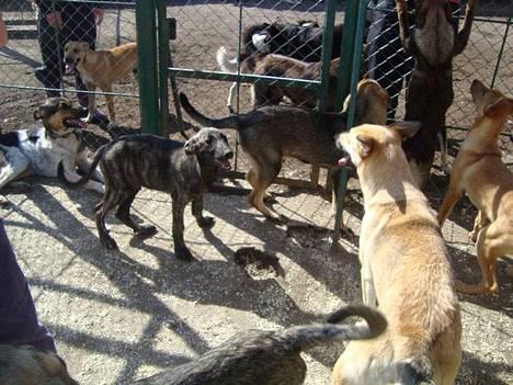 Viipurin koiratarhalla majailee pahimmillaan 200 kotia odottavaa koiraa.
