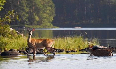 Valkohäntäpeurat kävivät viilentymässä aamu-uinnilla Kouvolan Vuohijärvessä lauantaina 8. elokuuta 2020.
