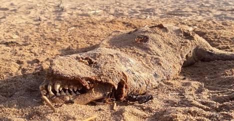 Lepääkö Karhin rannalla merihirviön raato?