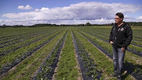 Koivistoisen mansikkapaikka on Suomen suurin alan yritys ja se tuottaa mansikkaa yli 120 hehtaarin alalla. Kuvassa Vesa Koivistoinen.