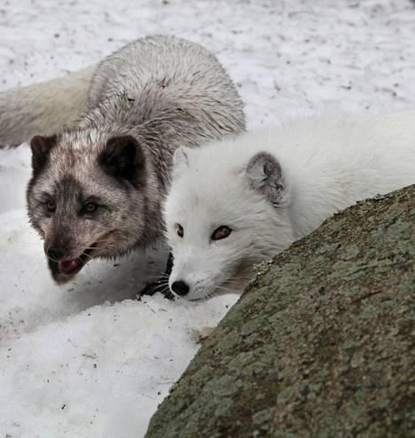 Punaisessa kirjassa luokiteltiin noin puolet Suomen kaikista 48 000 eliölajista. Nisäkkäitä listalle joutui 17. Näistä naalilla menee huonoiten; se luokiteltiin äärimmäisen uhanalaiseksi.