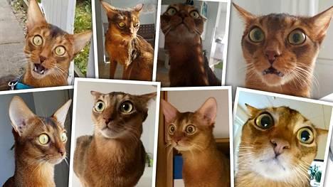 """Onko tässä Suomen ilmeikkäin kissa? """"Syntymähämmentynyt"""" espoolainen Nemo, 5, valloittaa maailmalla"""