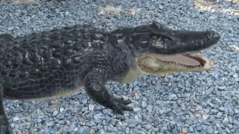 Google-haun ja puhelimen kameran yhdistelmällä saa tuotua vaikkapa alligaattorin eteensä.
