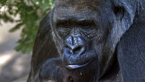Gorilla kuvituskuvassa.
