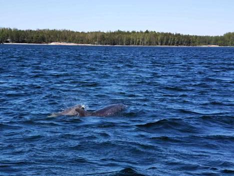 Delfiinit seurasivat Spetsin perheen venettä.