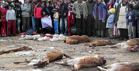 Kylmyys on tappanut kymmeniätuhansia laamoja, alpakoita, lampaita ja muita eläimiä sekä tuhonnut viljelysmaita Perussa.