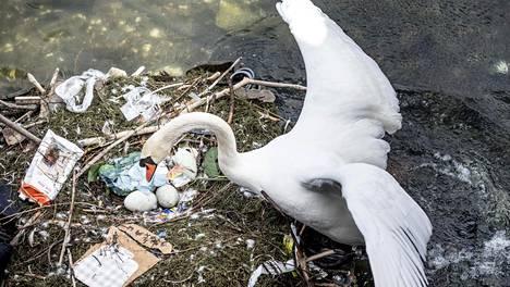 Joutsen pesii muovin keskellä Kööpenhaminassa. Kuva on otettu 17. huhtikuuta 2018.