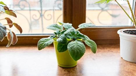 Aurinkoinen ikkunalauta ei ole loman aikana hyvä paikka kasville.