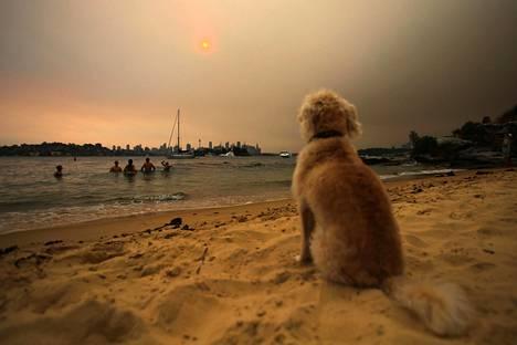 Koira katseli savuista horisonttia uimarannalla Sydneyssä perjantaina.