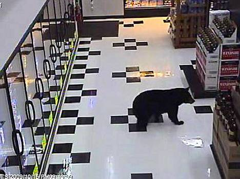 Noin 60-kiloinen mustakarhu löntysti viime viikon torstaina kaupan ovista sisään ja suuntasi suoraan olutkaapille.