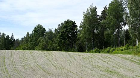 Kuivuus uhkaa joillain pelloilla tuhota sadon kokonaan.