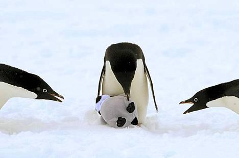 Pingviinit alkoivat sukia niille annettua pingviinivauvapehmolelua.