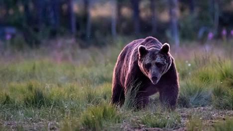 Karhu kuvattuna Kuhmossa heinäkuussa 2019.