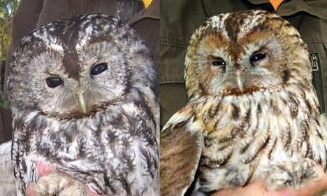 Lehtopöllön kaksi värimuotoa, harmaa ja ruskea. Kuva: Luomus.