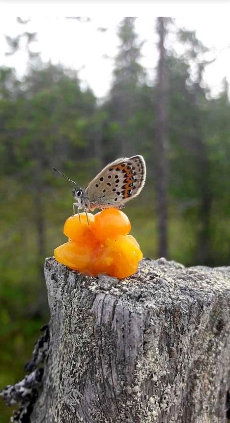 Perhonen istahti hillan päälle marjametsässä.