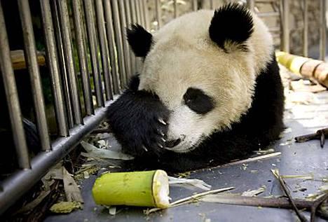 Wolongin kansallispuiston pandakeskuksessa asustellut 9-vuotias Mao Mao löytyi kuolleena murskautuneesta aitauksestaan.