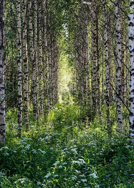 Metsä komeili vihreänä juhannusaattona.