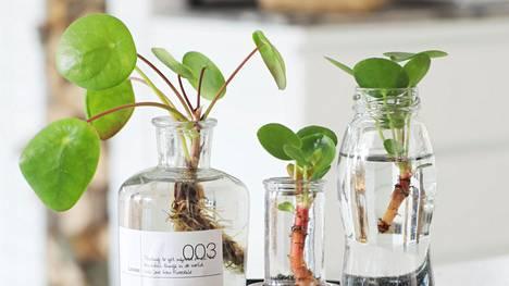 Kaunis kilpipiilea on yksi helppohoitoisista kasveista.