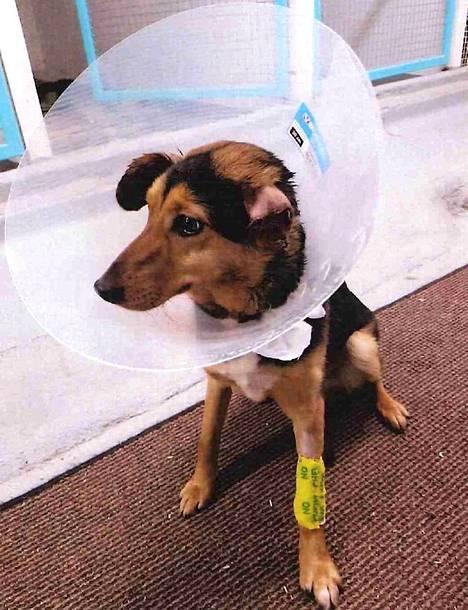 Pariskunta jätti saksanpaimenkoiran pureman sekarotuisen koiran maastoon talvella. Koiran toinen korva jouduttiin amputoimaan.