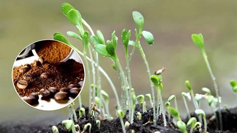 Kahvinporoissa on typpeä, fosforia, kaliumia ja mineraaleja, mutta ovatko ne pätevä lannoite?