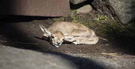 Gasellit ovat Korkeasaaren mukaan kenties eläintarhan arimpia eläimiä. Laji on suojeltu suurimmassa osassa elinaluettaan.
