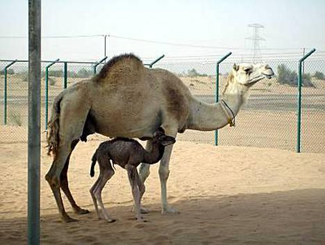 Injaz-nimen saanut yksikyttyräinen naaraskameli syntyi Dubaissa noin viikko sitten.