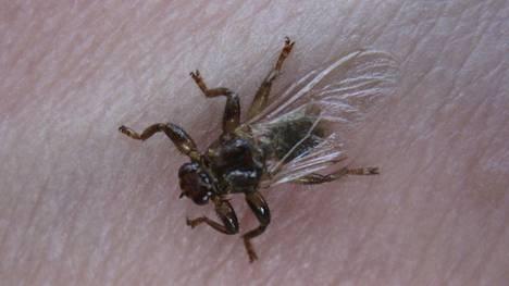 Metsäretken painajaiset: Juuri kun pääsit eroon ampiaisista, tulevat hirvikärpäset – niksit, joilla huijaat ne pois