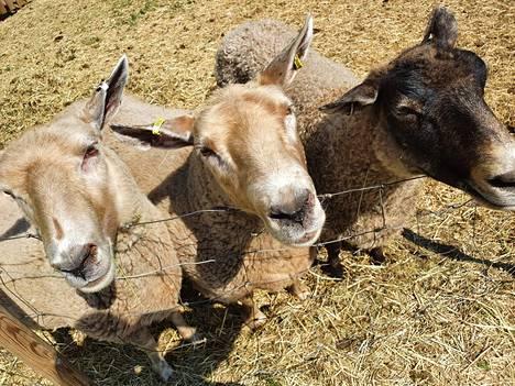 Puodin pihapiirin lampaat tervehtivät kävijöitä.