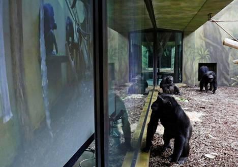 Dvur Kraloven simpanssiaitauksessa seurattiin kiinnostuneena, mitä Brnon eläintarhassa tapahtui samaan aikaan.