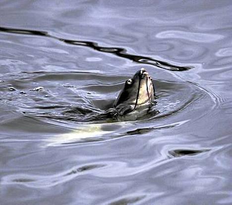 Henkitoreissaan olevat kalat on helppo korjata pois kanavasta.